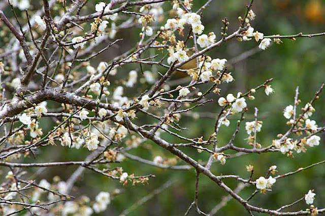 plum  blossoms, branch, tree