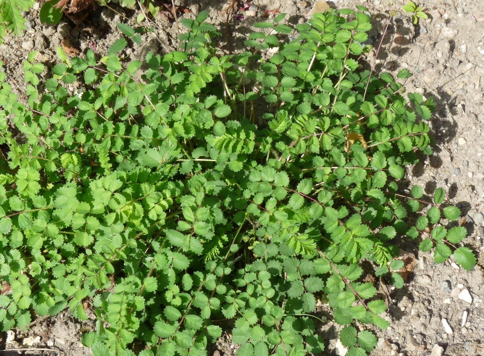 Le jardin des moines la petite pimprenelle for Plante 7 folioles