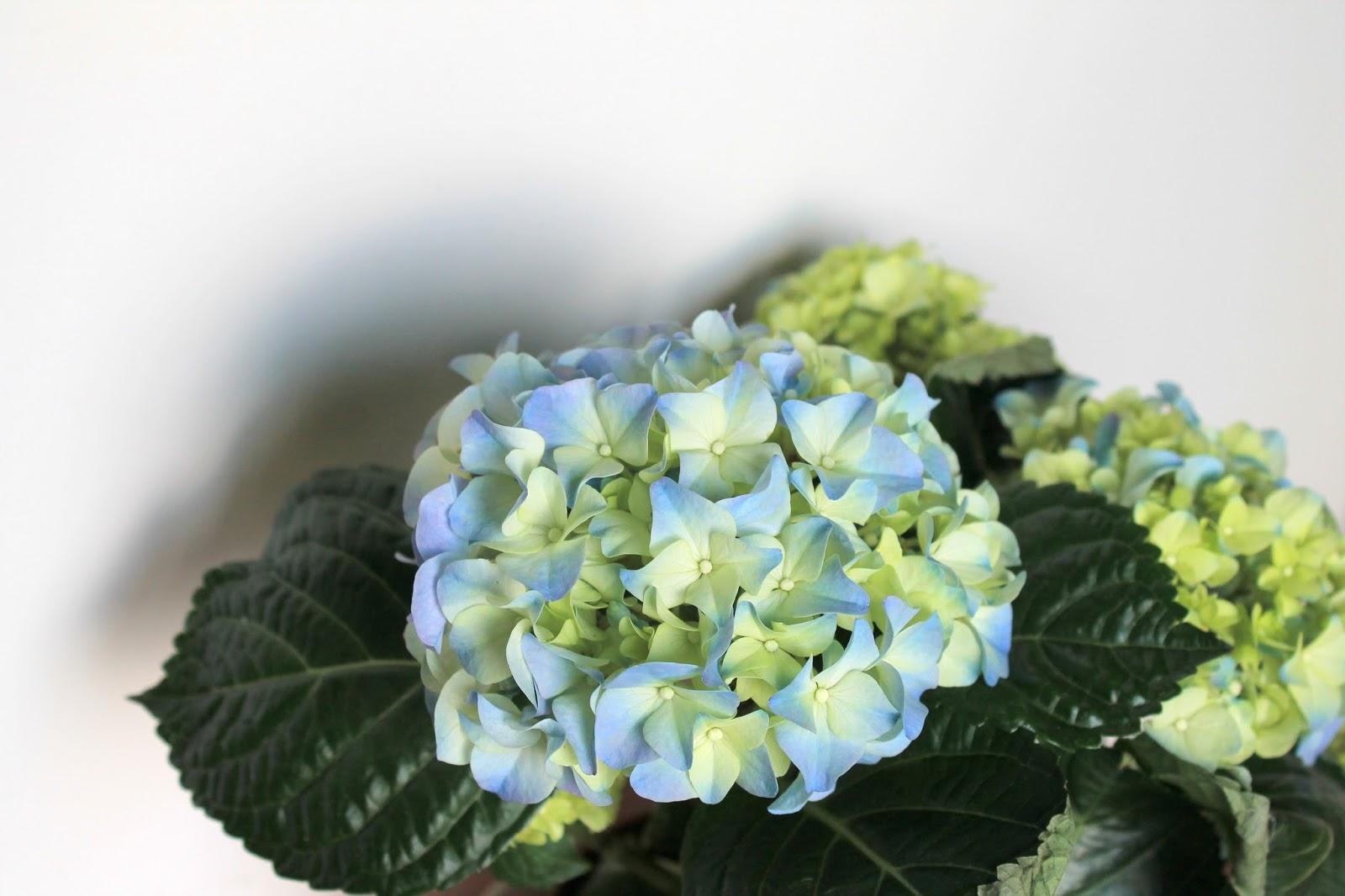 hortensien fruehling