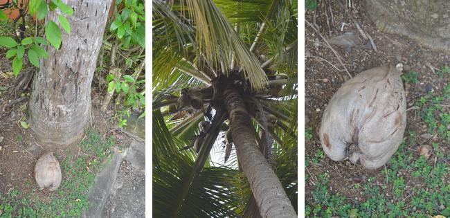Coco cannelle tout savoir sur la noix de coco de l 39 arbre for Quand ramasser les noix