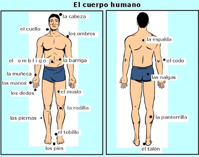 Imagenes cuerpo humano con sus partes en inglés - Imagui