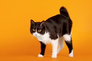 Japanese Bobtail Cat Pictures