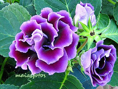Purple Sinningia speciosa-Gloxinia