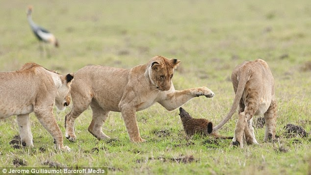 COURAGEOUS MONGOOSE FIGHTS OFF FOUR LIONS AND WINS