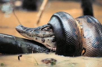 Anaconda  Wikipedia