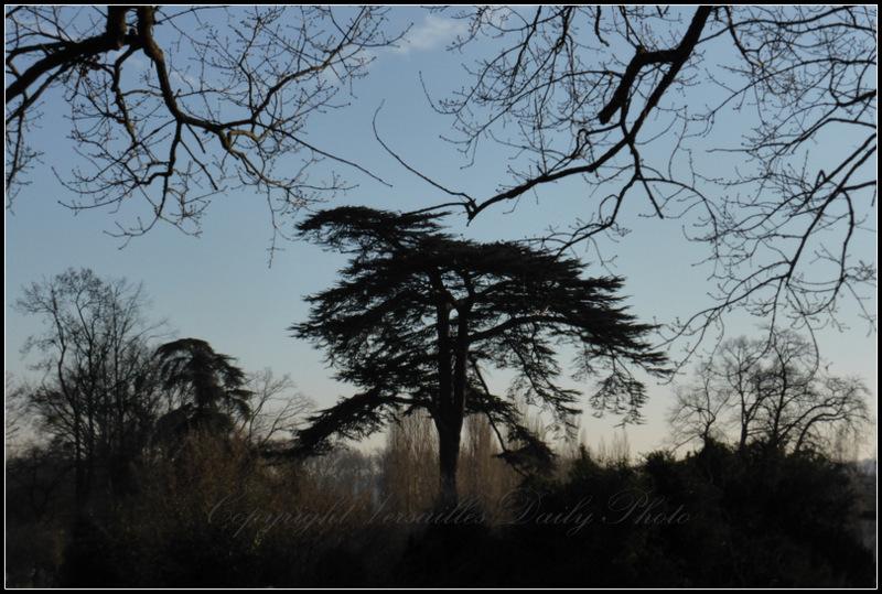 Lebanon Cedar Versailles Petit Trianon