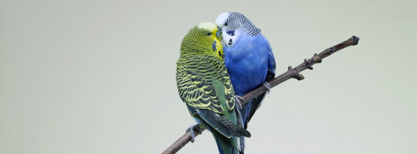 Kissing budgies facebook cover