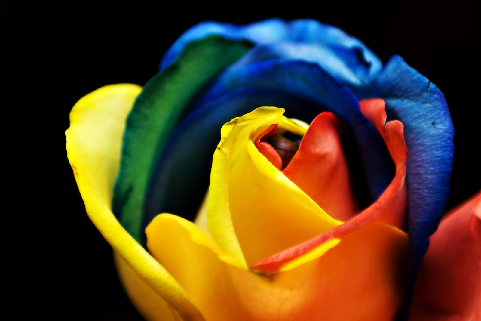 Nameaholics anonymous name rainbow red for Rainbow colored rose