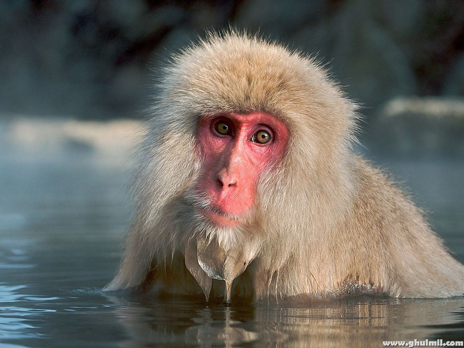 beautiful wallpapers monkey hd wallpapers
