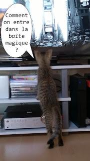 Un chaton gris regarde la télé !