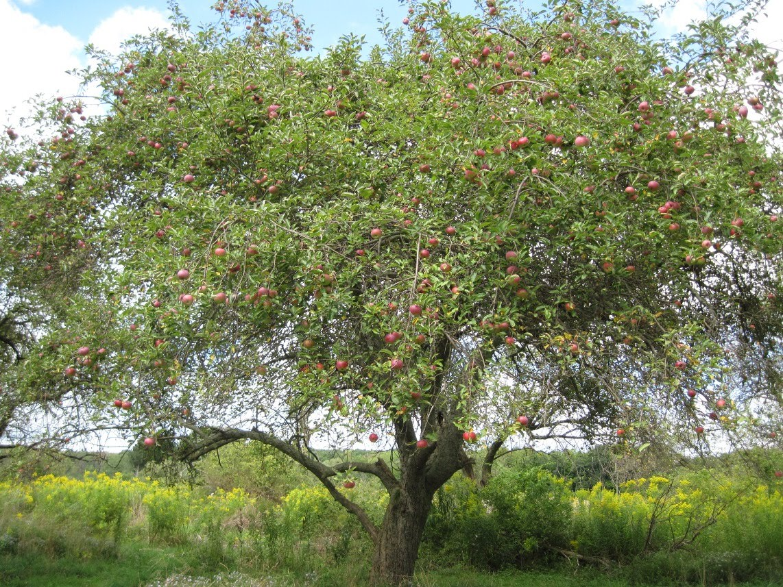 Every wild apple tree you pass