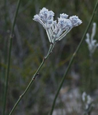 Common Smokebush (Conospermum stoechadis)