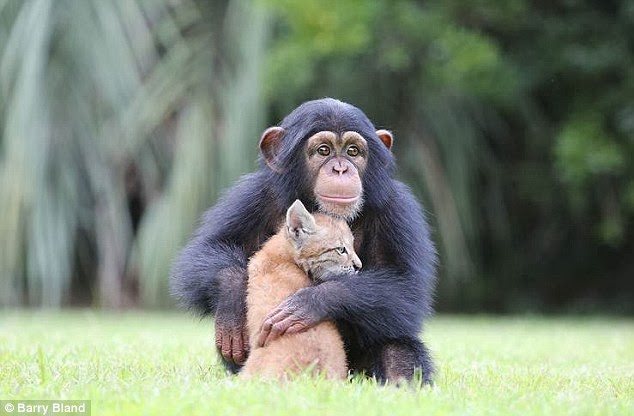 The lynx and the chimp who have become the best of pals (Photos - Video)
