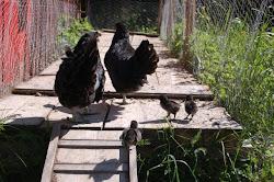 Hildur & Hulda med kycklingar