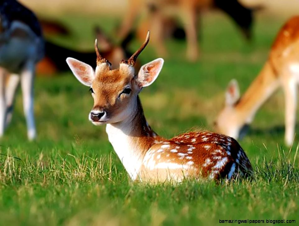 Deer HD Wallpaers  Deer HD Images and Pictures  Cool Wallpapers