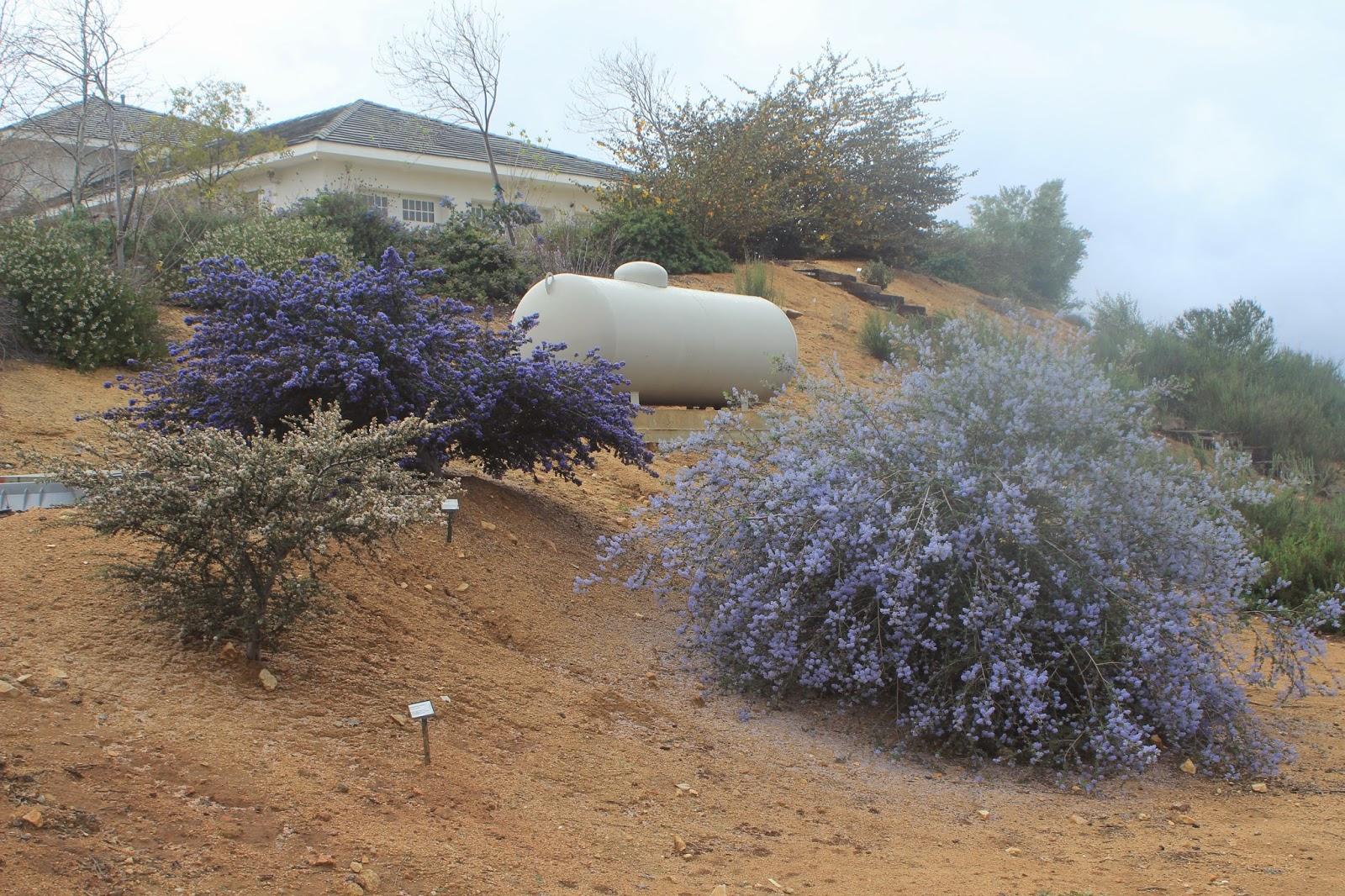 Otay Mountain Lotus 2/22/15 Otay Mountain Lilac