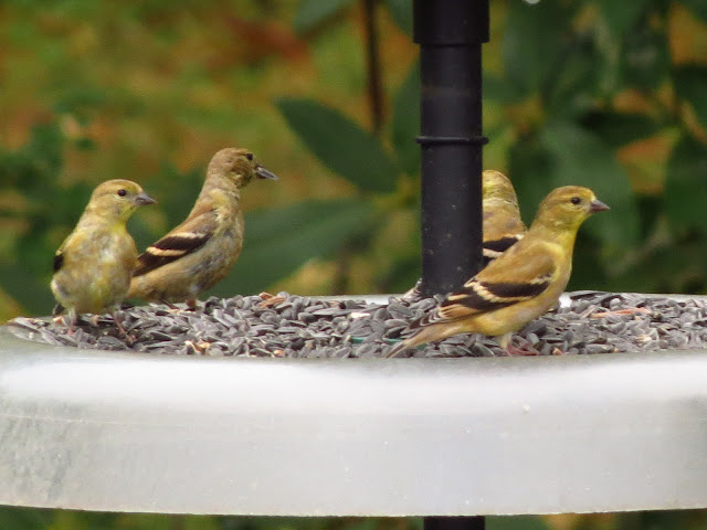 american goldfinches on feeder tray