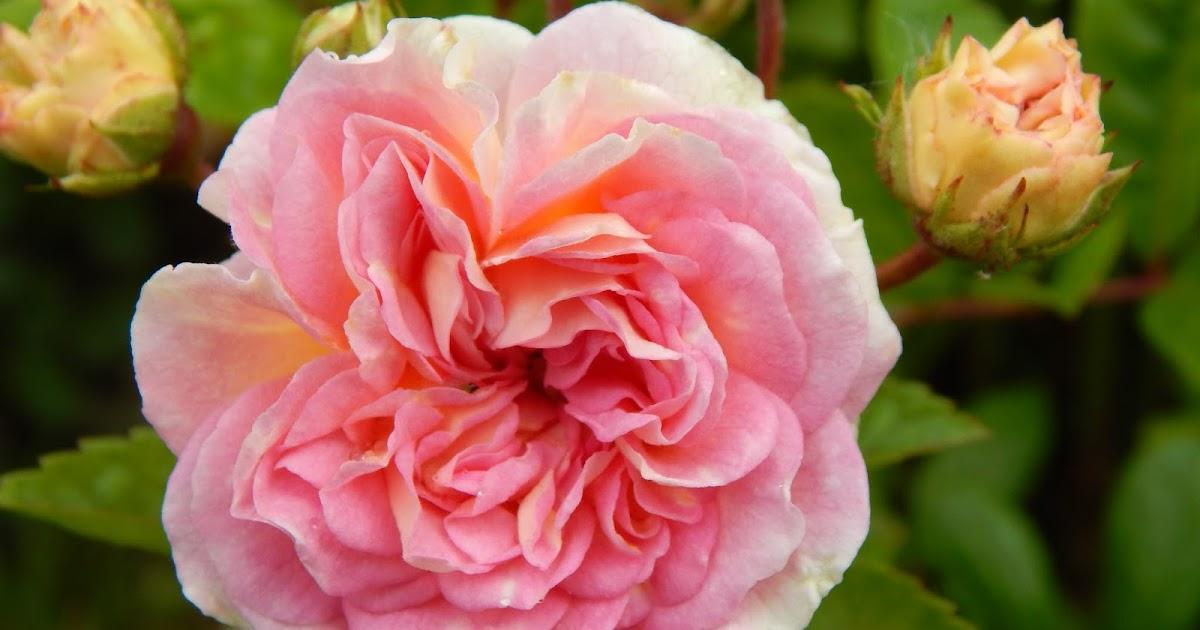 beaut s florales rosier pink ghislaine de f ligonde. Black Bedroom Furniture Sets. Home Design Ideas