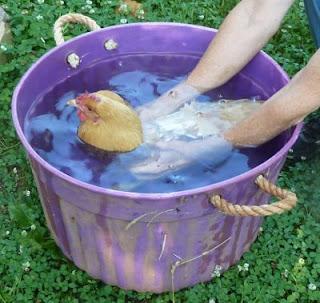 Chicken dunk method to break up broodiness