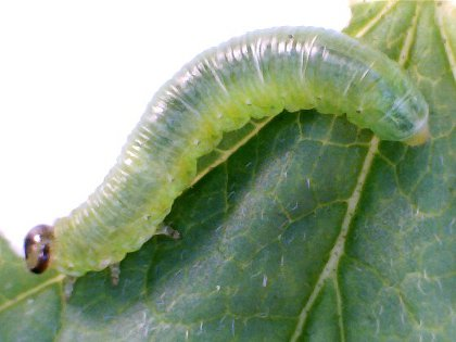comma caterpillar on a currant leaf