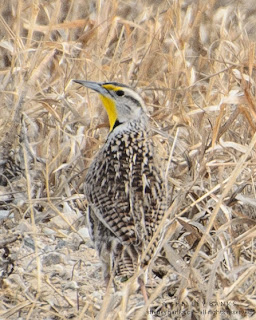Western Meadowlark. Photo © Shelley Banks, all rights reserved.
