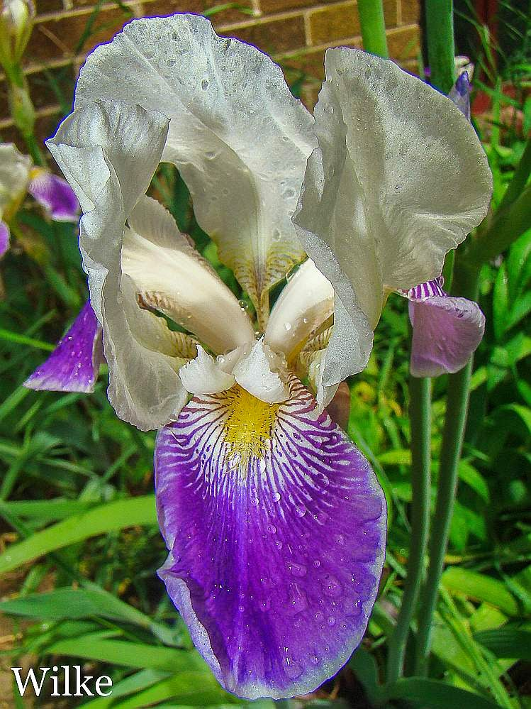 Irises in bloom. First day right after a spring rain shower.