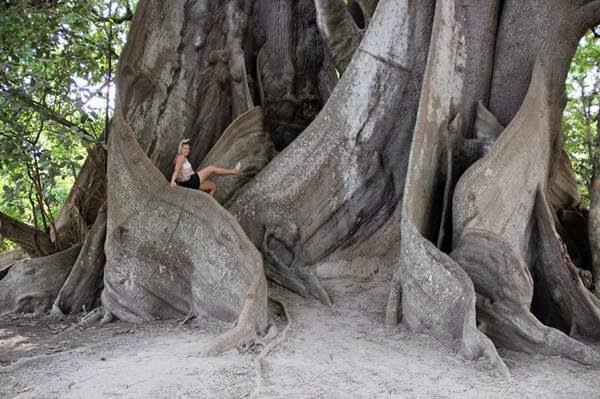 Fromagier Tree Senegal