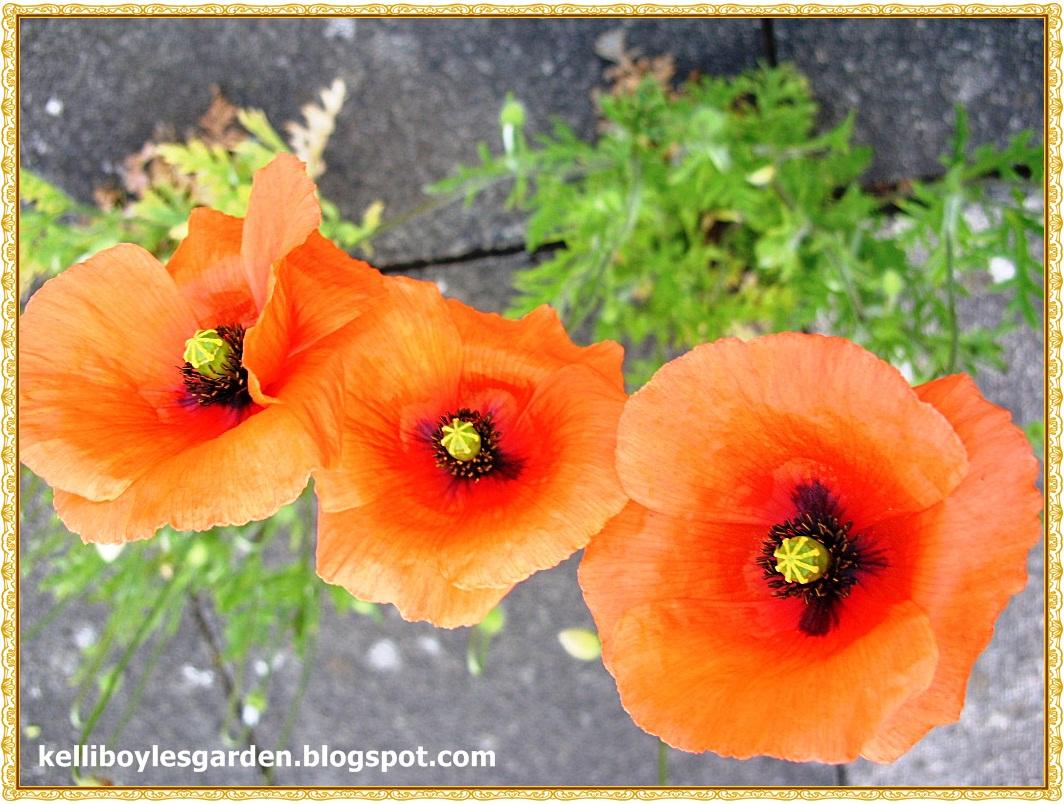 Kellis Northern Ireland Garden Poppy Show