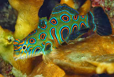 fish index psychedelic fish synchiropus picturatus