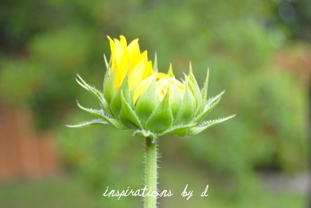 How to Grow Sunflowers