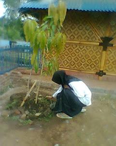 penanaman buah mangga di pekarangan