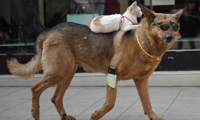 Kucing Rider Anjing