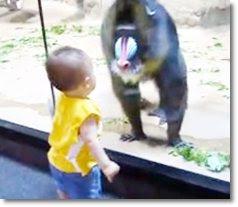 criança vs mandril