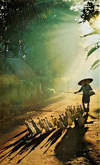 Goose herder, Indonesia