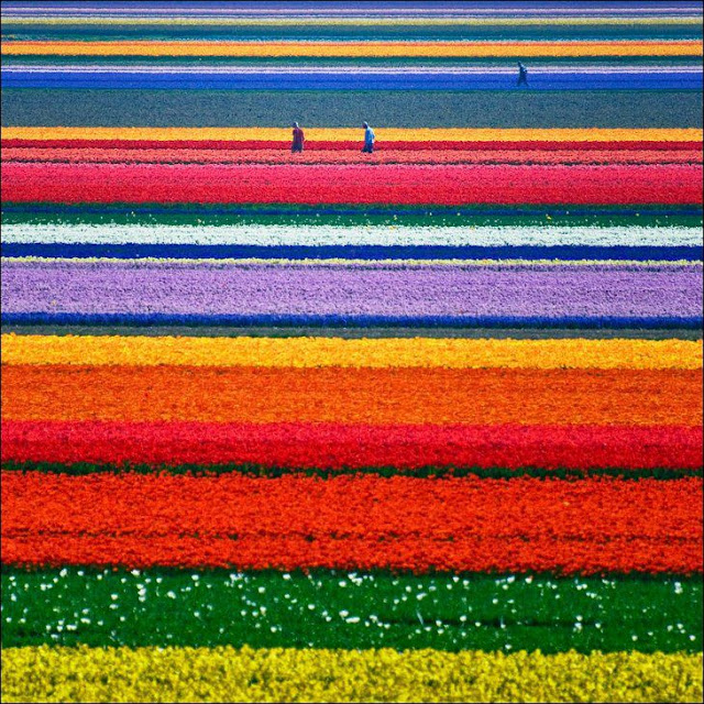 01 شهر مايو في هولندا  موسم حصاد زهور التوليب  جنة على الأرض