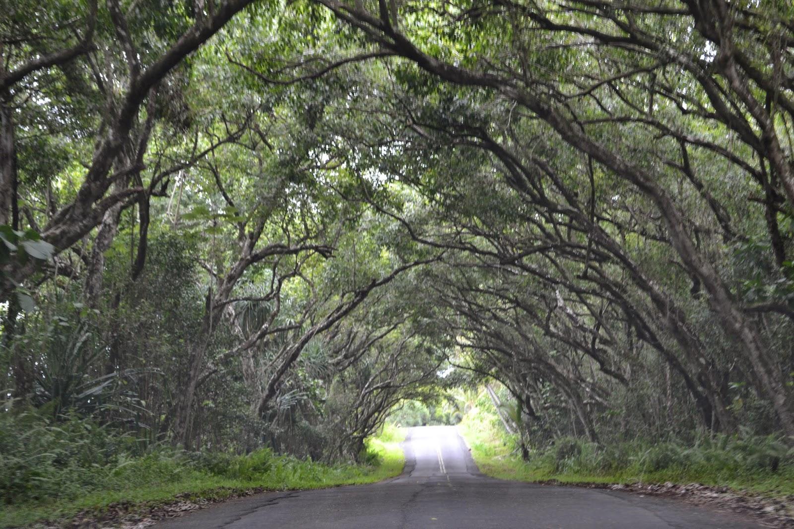 Family Travel Blog Hawaii Daily Photo Tree Tunnel Puna