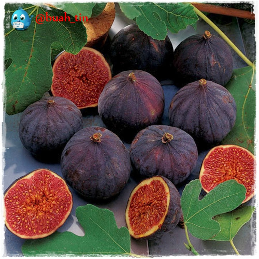Dwarf fig blackjack