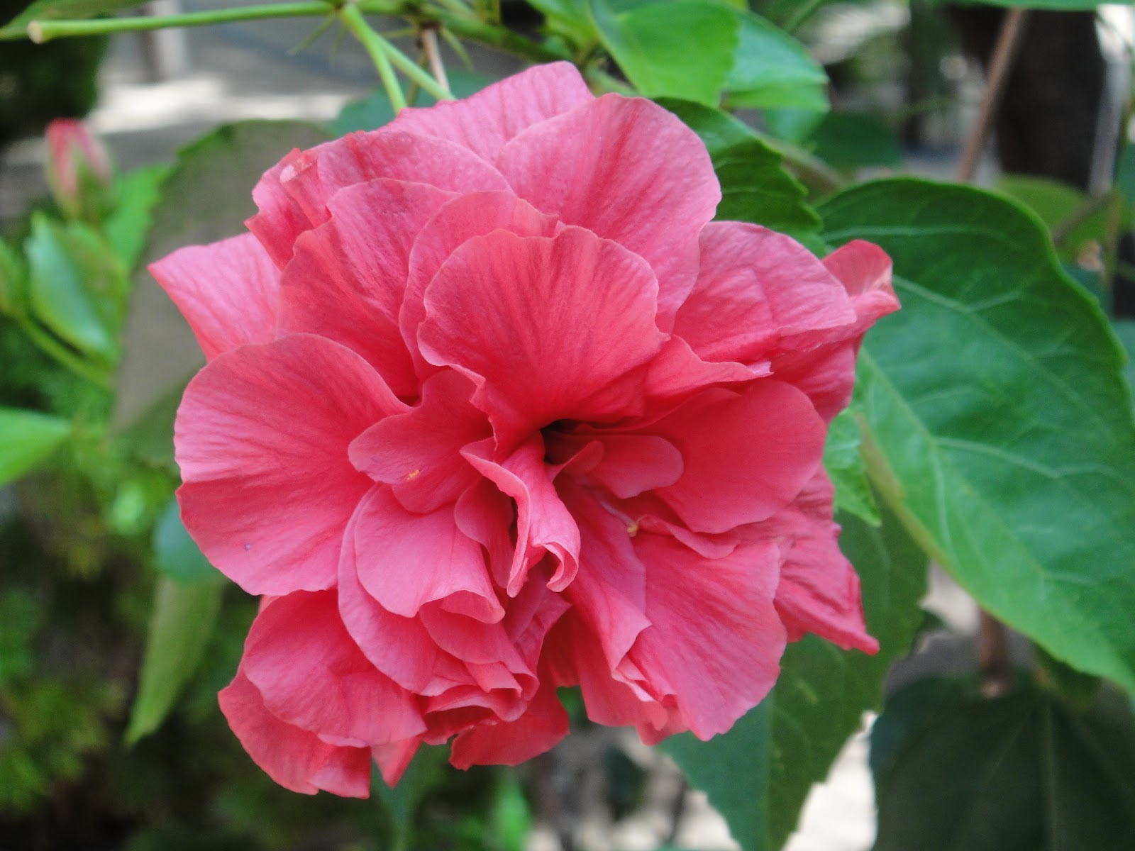 Free HD Background Images: Shoe Flower(Hibiscus flower )