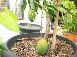 Tips dan Cara Budidaya dan Menanam Pohon Mangga Di Dalam Pot Hingga Berbuah