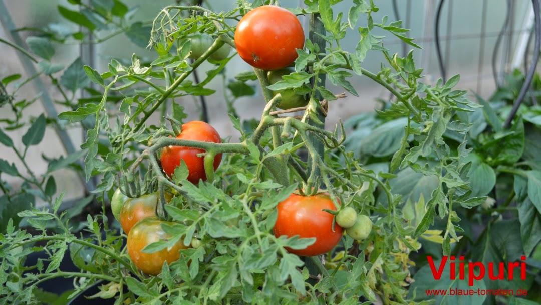 kleiner gem sek nig endlich tomaten und auch die blauen. Black Bedroom Furniture Sets. Home Design Ideas