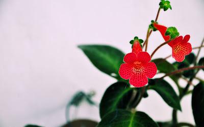 Lengua de Suegra (Flores y Plantas de Veracruz, México.)