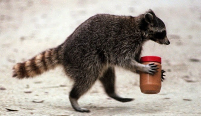 Raccoon-With-Peanut-Butter-Jar-Stuck-On-Its-Head-Sprayed-With-Fire-Hose-To-Rescue-It-From-The-Trees-665x385.jpg