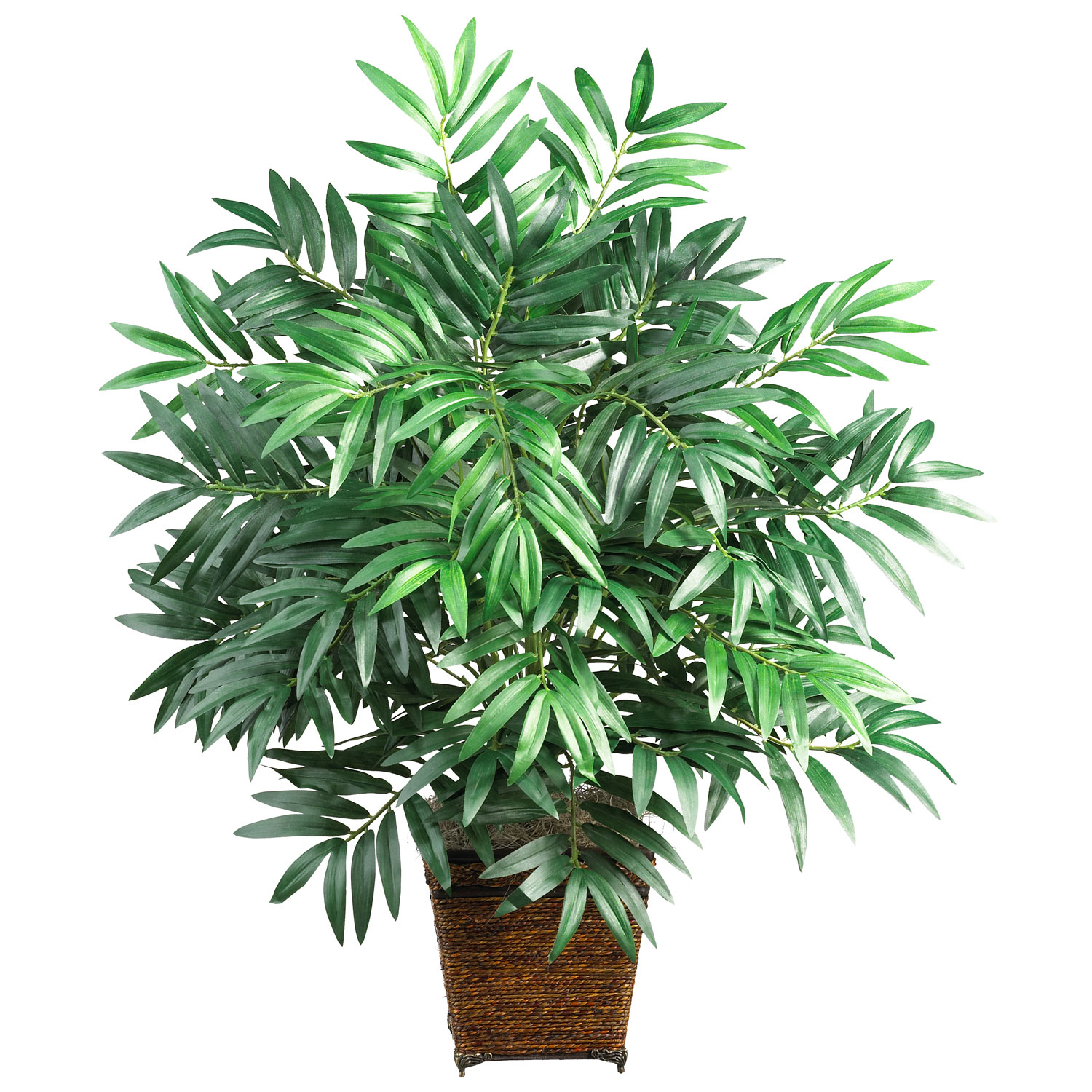 1 bamboo palm chamaedorea costaricana for House plants