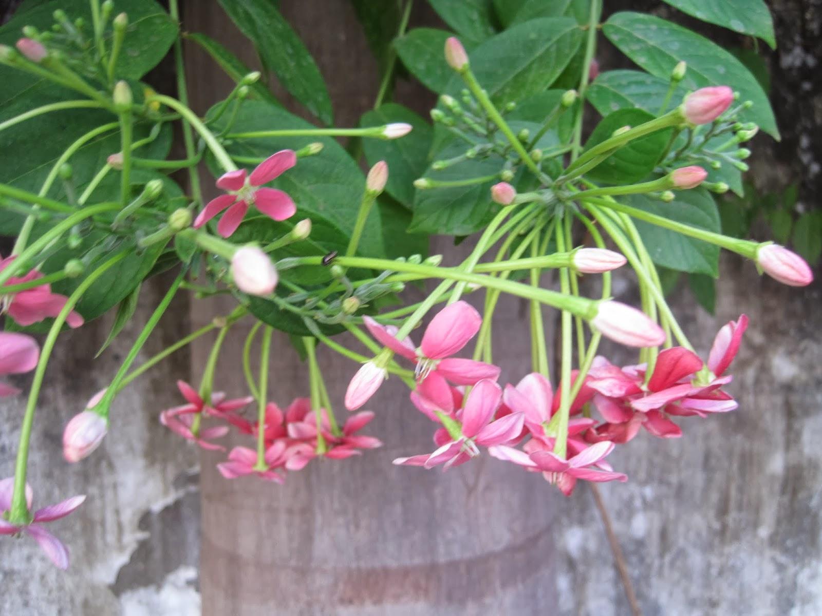 Pink Cassia Flower Madhu Malti Flower Random Photography