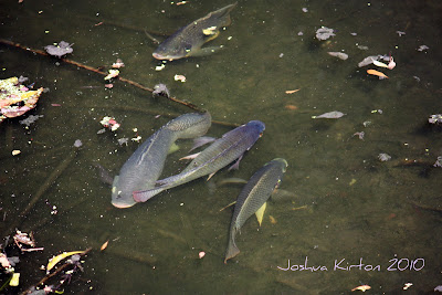 I wish I were a fish in a dish by Joshua Kirton, a phot of fish in a Florida stream.