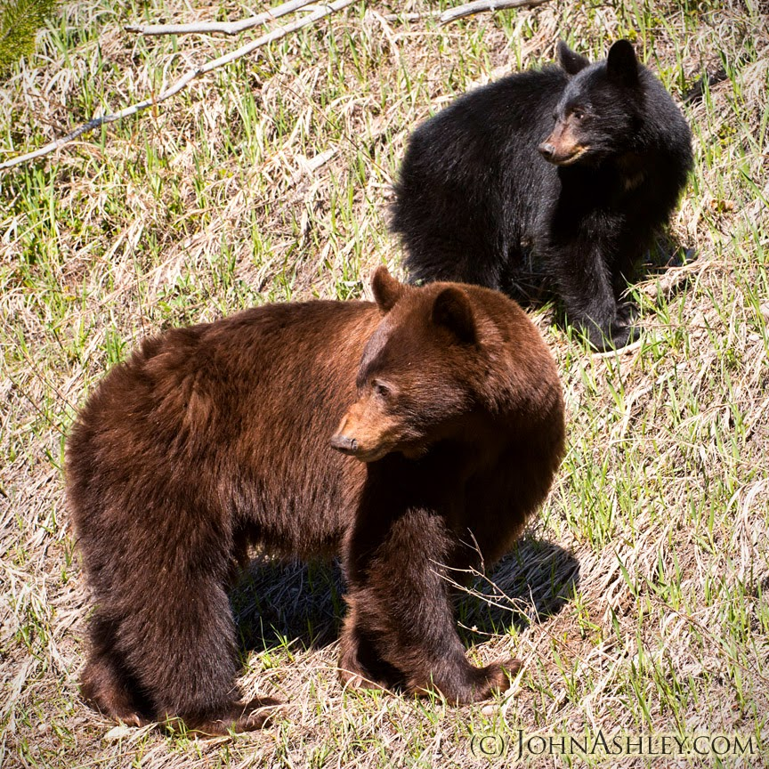 Black bear sow and cub (c) John Ashley