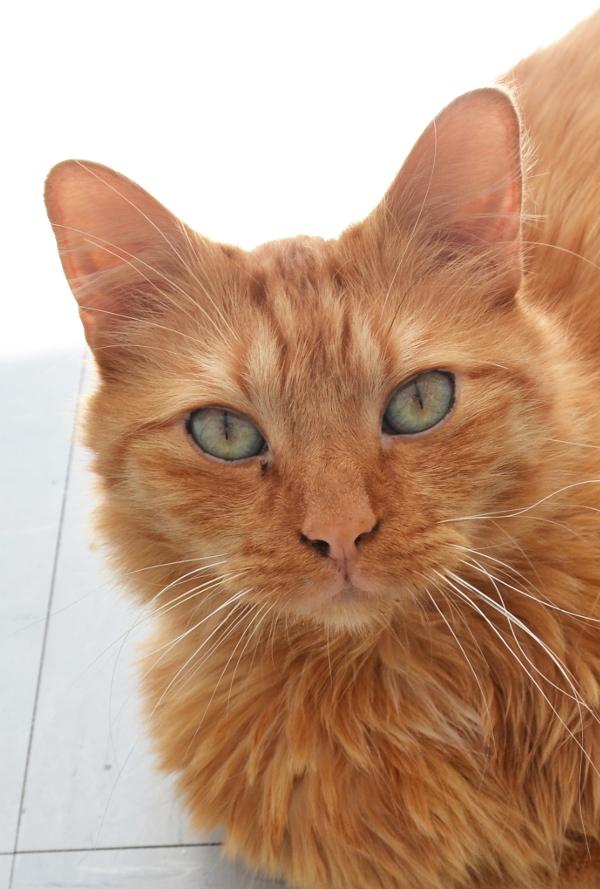 Art et glam la beaut du chat roux - Mon chat me colle plus que d habitude ...