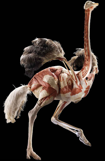 Ostrich without its skin