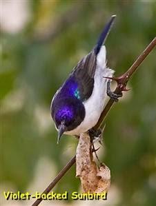 Foto Burung Kolibri Muncang Terbaik