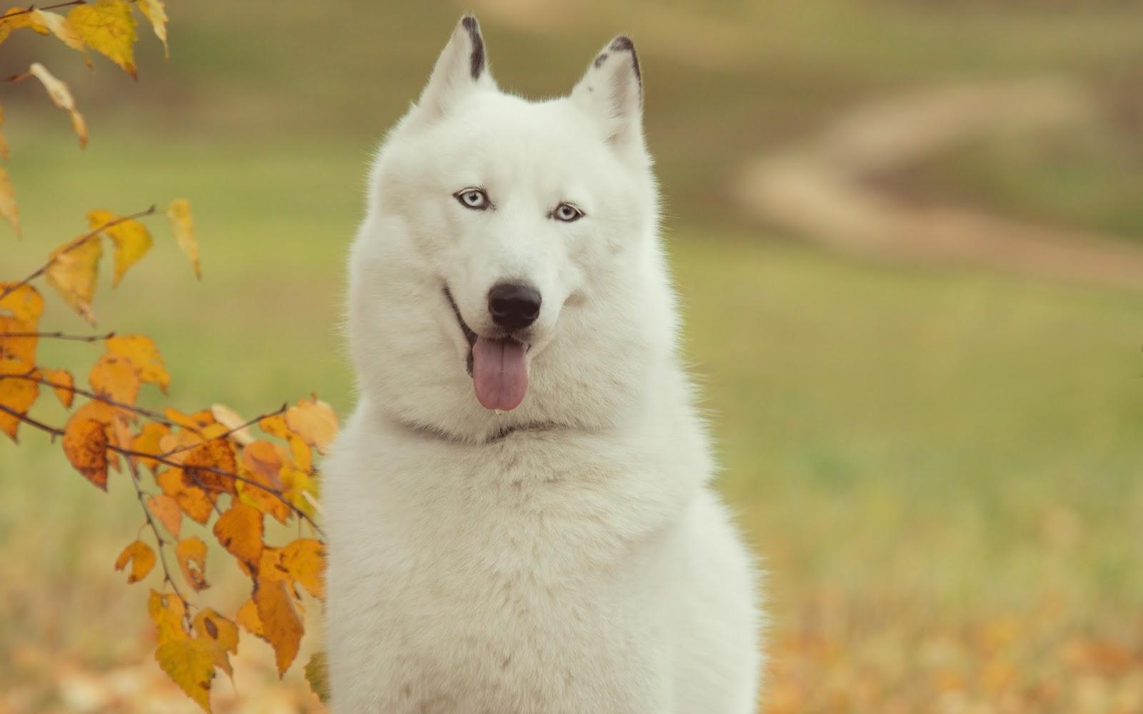 http://3.bp.blogspot.com/-T5eHPh01NkQ/T9N5O-n8aPI/AAAAAAAAe9Q/-7c63qGPdfc/s1600/Perro-Husky-Siberiano_Fondos-de-Pantalla-de-Animales.jpg